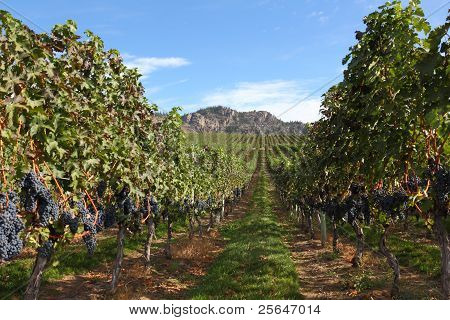 Ready for Harvest, Okanagan Vineyard