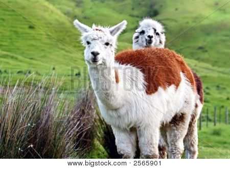Two Adorable Alpacas