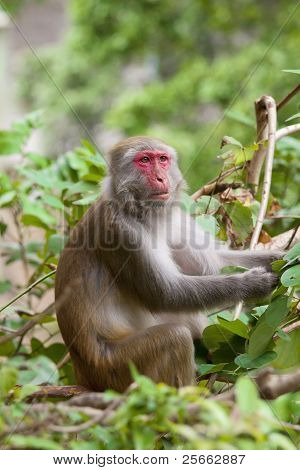 Monkey Ape Eating The Seeds