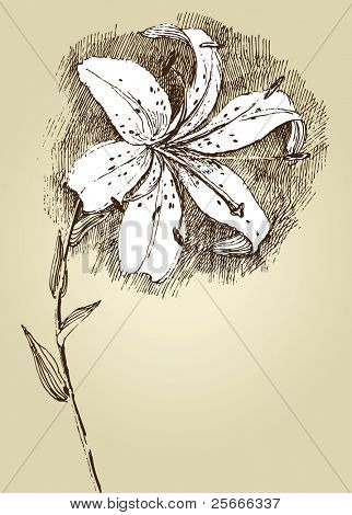 hand drawn lilly flower