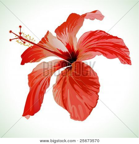 Hibiscus flower vector illustration, red beautiful plant on white background