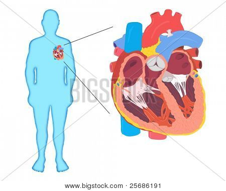 Human Heart Anatomy Silhouette