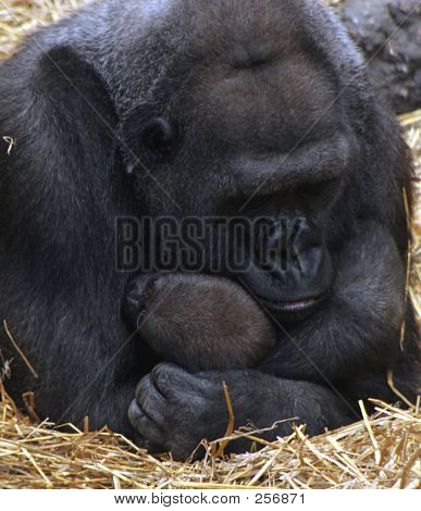 Mama And Baby Gorilla