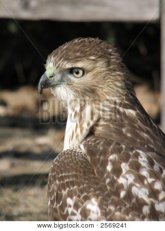 Redtai Hawk