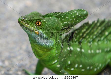 Emerald Double Crested Basilisk