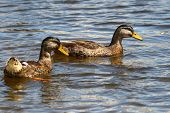 A Pair Of Mallard Drakes In Eclipse Plumage During The Moult poster
