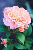 Beautiful Pink Rose Flower Blooming In The Garden On A Green Background, One Rose Flower And Two Ros poster