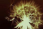 Dandelion Seed Background. Inverted Color. Background Image Of Dandelion Seed Inverted Color. Graphi poster