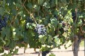 Midnight Beauty Grapes In Swan Valley - Perth poster