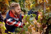 grapes on family vineyard- smiling worker picking black grapes poster