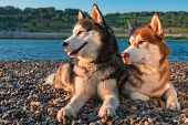 Portrait Two Husky Dogs Lying Side By Side By The River On Sunny Summer Evening. Side View. poster