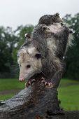 Opossum (didelphimorphia) And Joeys Balance On Log - Captive Animals poster