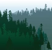 picture of coniferous forest  - coniferous forests - JPG