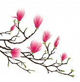 foto of japanese magnolia  - magnolia blossom - JPG