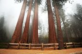 foto of redwood forest  - Sequoia National Park in USA - JPG