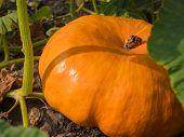 Ripe Orange Flat-shaped Pumpkin Lies On A Vegetable Garden In A Natural Environment. Fresh, Ripe, Pu poster