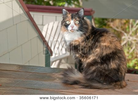 Beautiful Housecat Sitting On Deck Outside