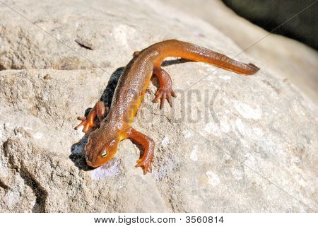 California Newt On A Rock