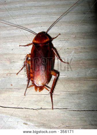 Huge Roach