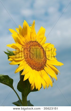 Bright Yellow Sunflowers Mature