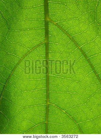 Microscopic Plant Leaf