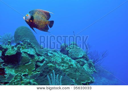French Angelfish And Reef