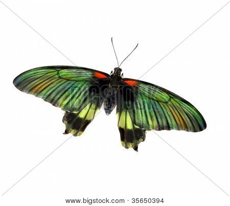 butterfly with open wings on white background