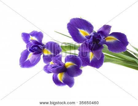 lila und gelb Iris, isolated on white background