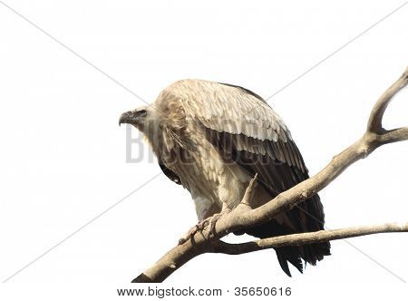 vulture, sitting on a branch. Isolated on white.