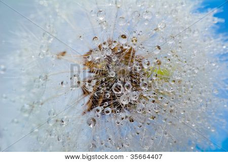 Dandelion with drops, close-up, macro