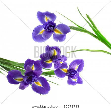 purple and yellow iris, isolated on white background