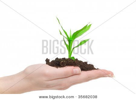Human hands hold and  young plant