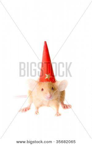 rat in cap. Isolation on white.
