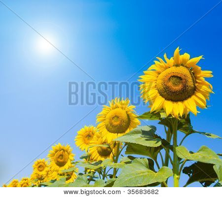 Field of sunflowers on a background of the blue sky.