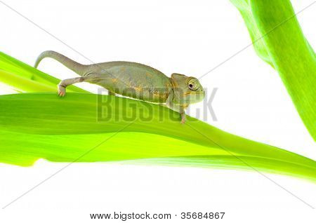 Chameleon on leaves. Isolation on white