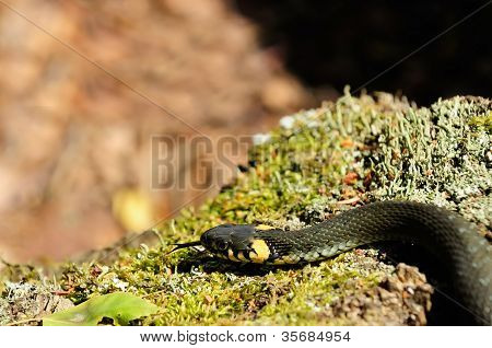 Water Snake (Natrix) Crawling On Moss In The Wood