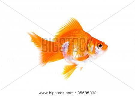 goldfish on a white background