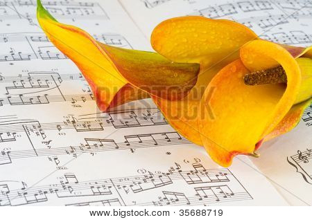 close up of delicate orange calla lily