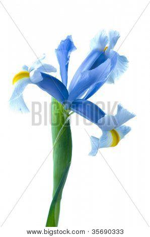 Flores de íris fresco bonito com gotas de água