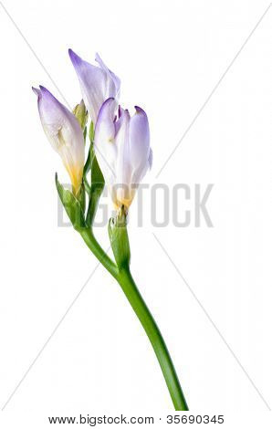 Beautiful fresh iris flowers with waterdrops