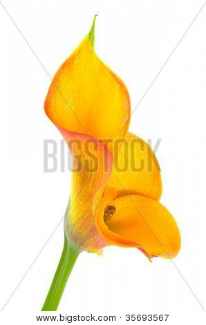 flower on a white background. Isolation