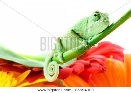 Chamäleon auf Blume. Isolation auf weiß
