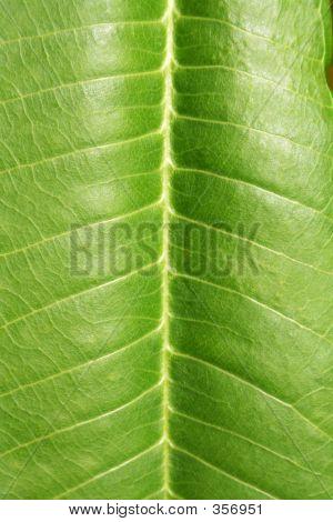 Plumeria Leaf Detail