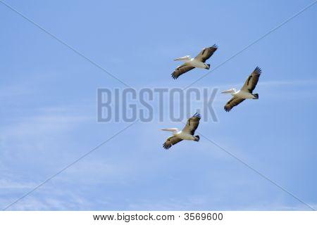 Three Pelicans