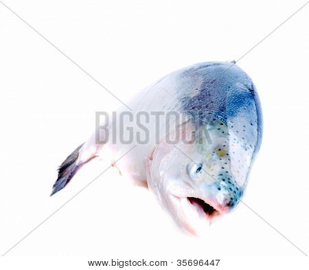 Trout fish isolated on white