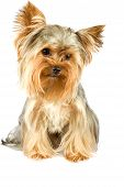 picture of yorkshire terrier  - purebred dog  - JPG