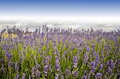 stock photo of lavender field  - england gloucestershire the cotswolds snowshill lavender farm lavender fields - JPG