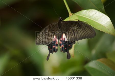 Common Mormon Butterfly - Papilo Polytes