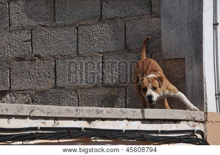 barking growling dog