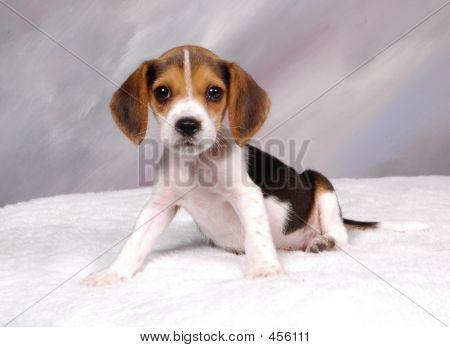 Beagle Pup 2